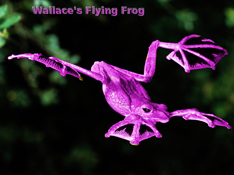 wallaces_flying_frog.png
